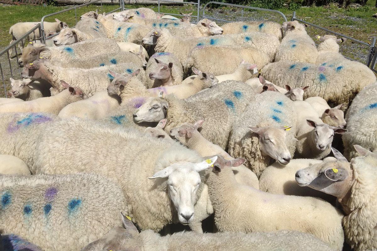 sheep, sheep farming, sheep farmers, farming news