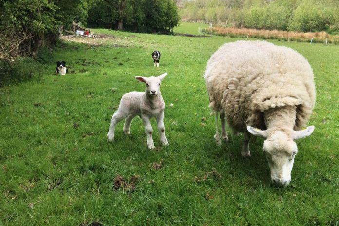 Sheep, sheep farming, sheep farmer