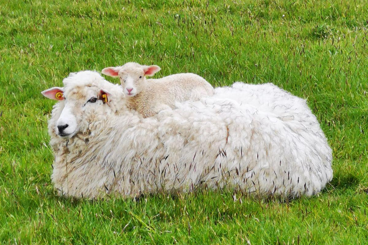 Sheep, sheep farming, sheep farmers, wool prices