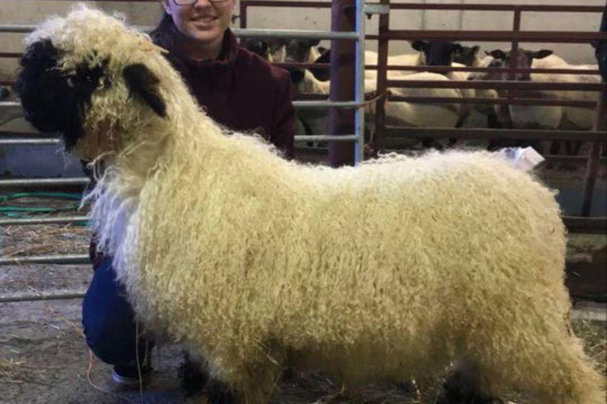 sheep farming, sheep farmer, women in ag, Valais Blacknose