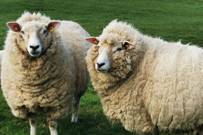 Sheep, sheep farming, sheep farmer, sheep farming,