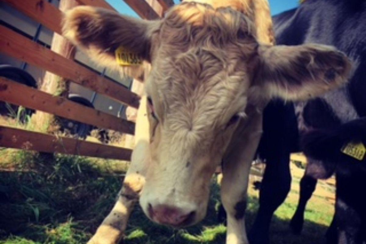 Charolais cattle, farming news, farming news UK