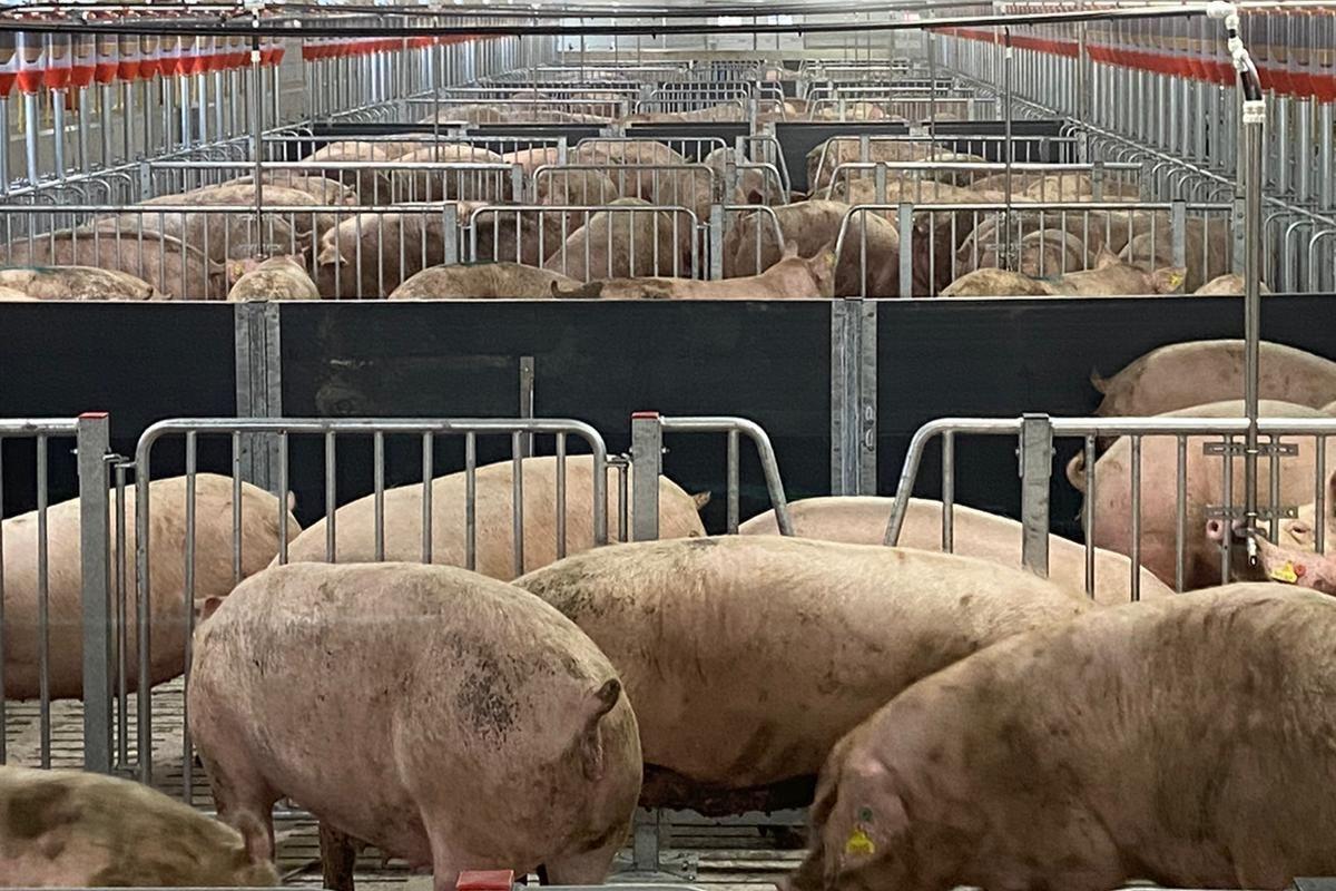 pigs, pig farming, pig farmers, farming news