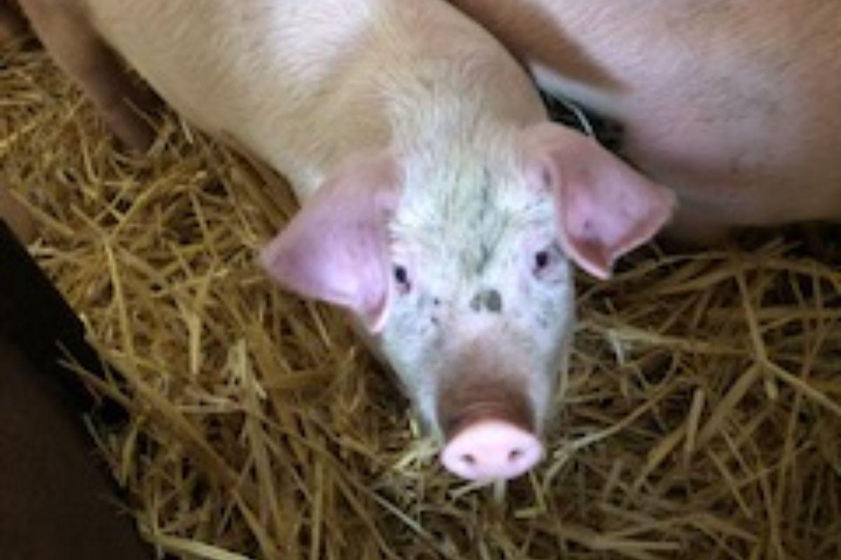 pigs, pig farming, pig farmers,