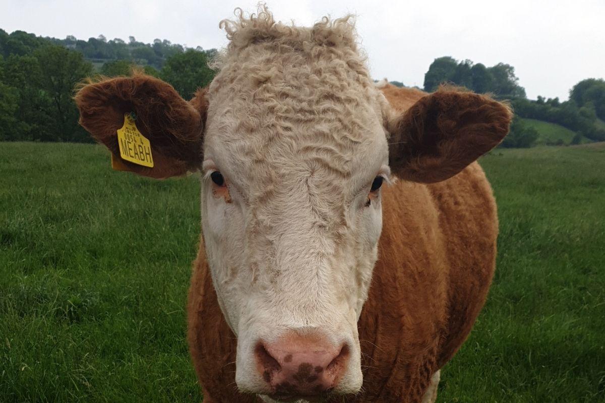 Carrowmannon Limousins, farm girls, women in ag, women in farming, Limousin cattle, suckler farming, sheep farming,