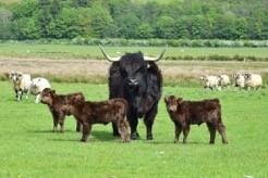 Highland Cattle Society, Highland Cattle, suckler farming, suckler farmers