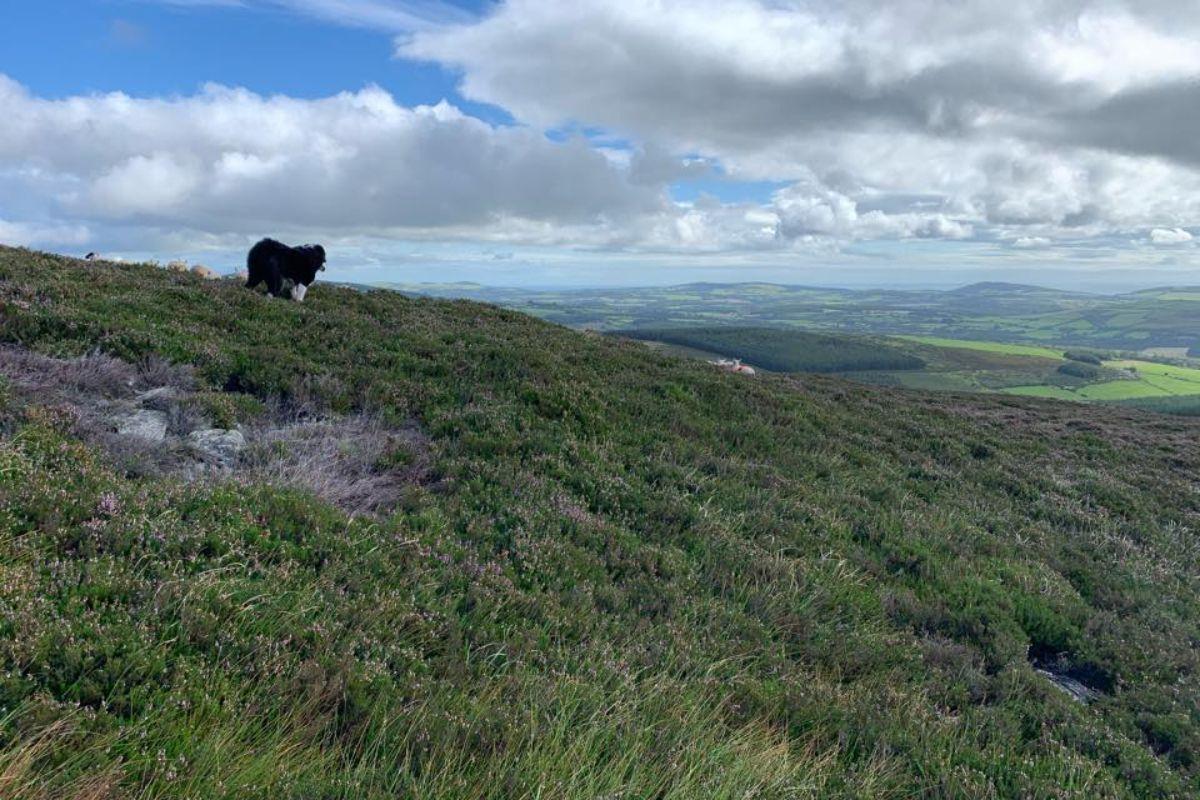 Adam Sharkey, farming news, sheep farming, sheep, sheepdog