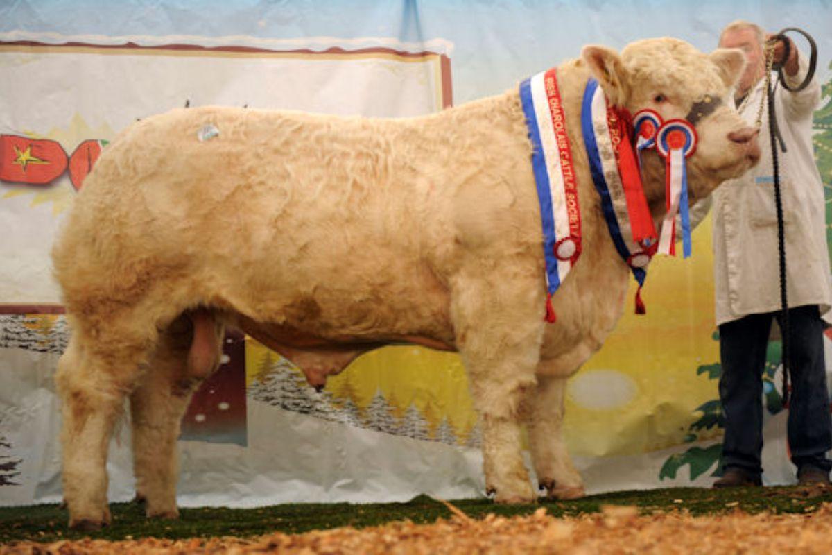 Charolais cattle,