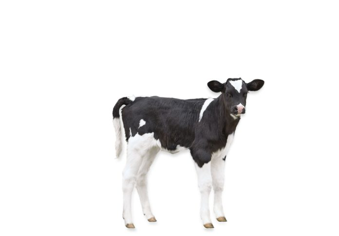 Calf, farming news, dairy news, dairy farming, dairy farmers