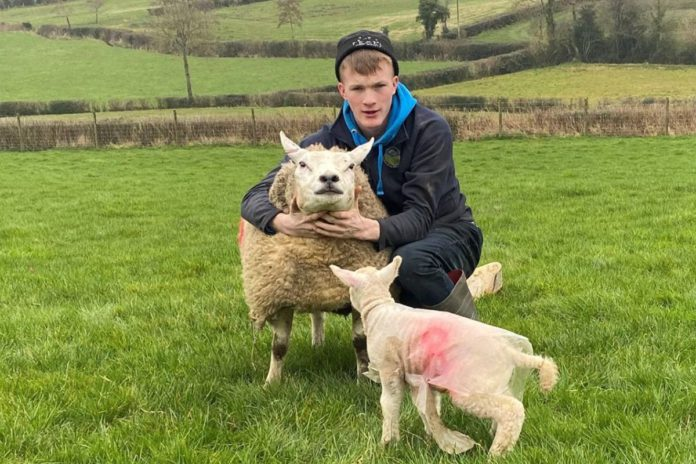 sheep farming, sheep farmer, sheep farming, young farmer from Northern Ireland, cattle farming, beef farming