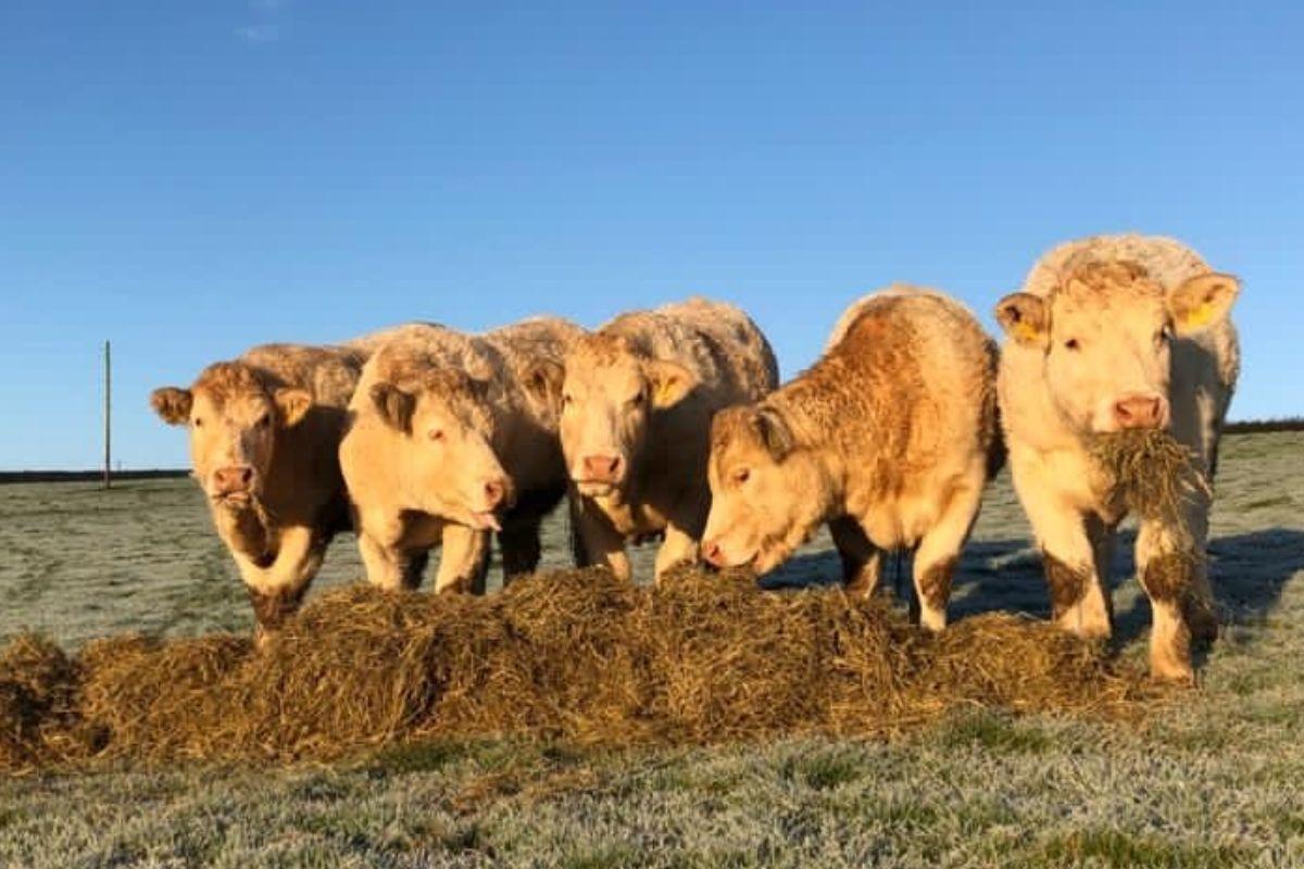 Charolais breeder, suckler farming, suckler farmers, cattle,