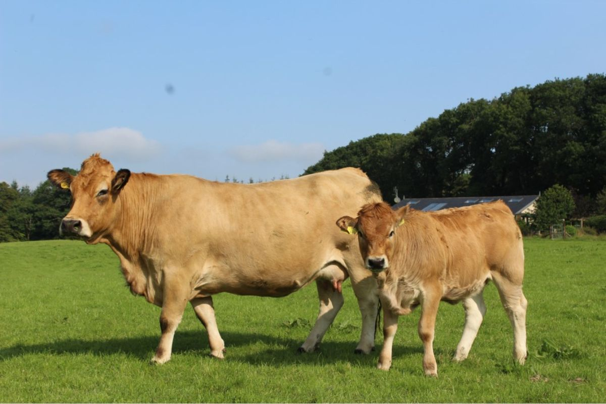 Ballinclea Aubracs, Aubrac cattle, suckler farming, suckler farmers