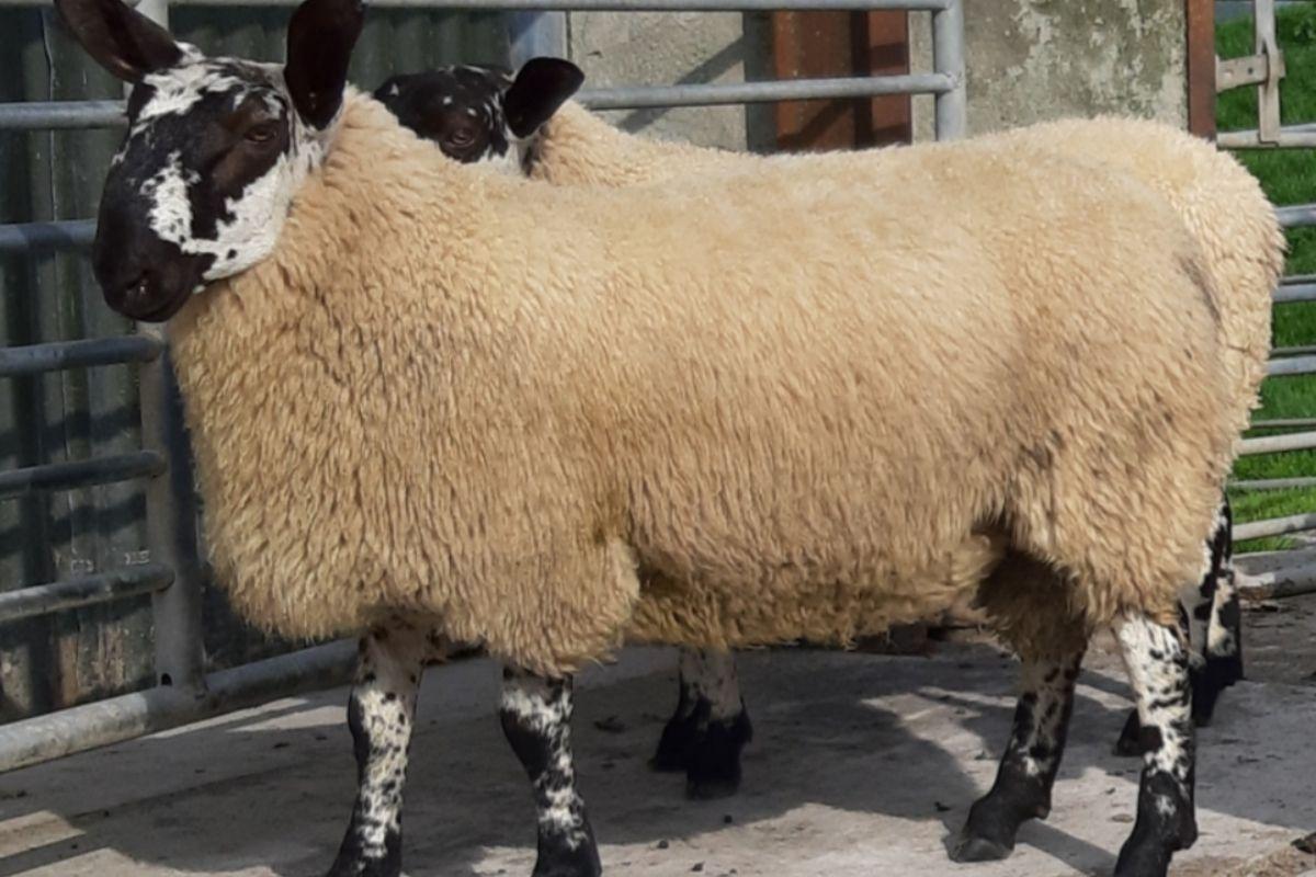 Milford sheep, sheep farming, sheep prices