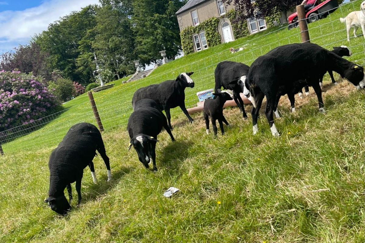 Castlecor Zwartbles, farming news, sheep, sheep farming, sheep farmers, Zwartbles, Zwartbles sheep