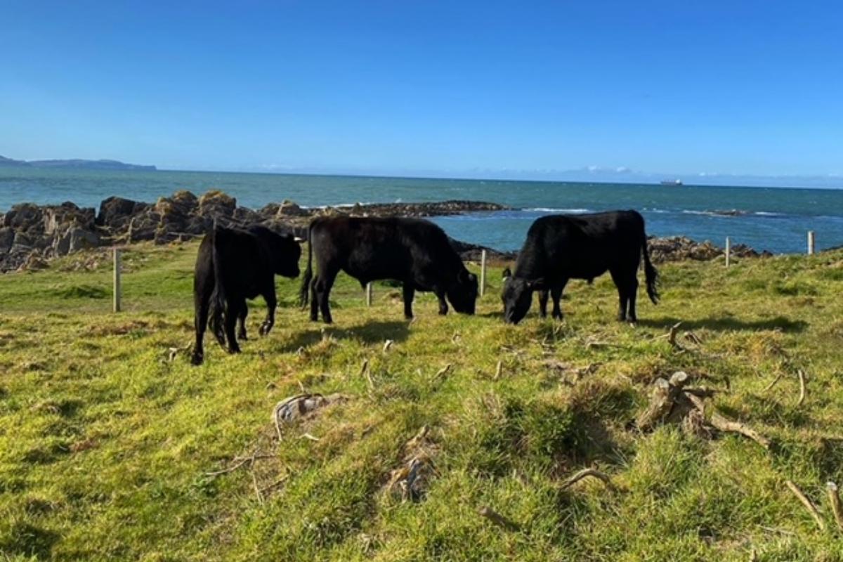 Ballyboley Dexters, Dexter cattle, suckler farming, suckler cows