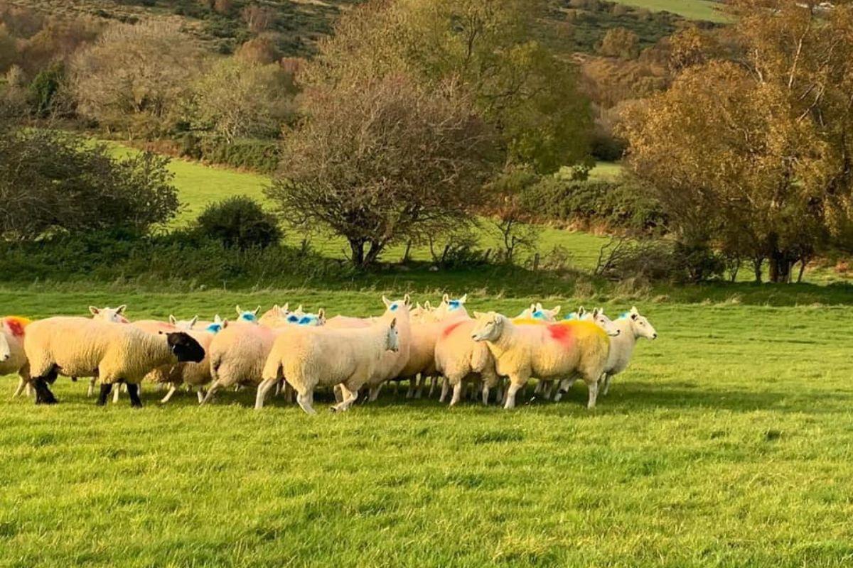 Adam Sharkey, farming news, sheep farming, sheep