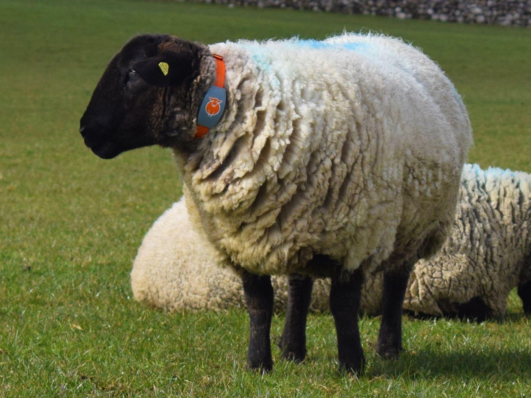 Bleat, Stephen Fagan, sheep farming, suckler farming, sucklers
