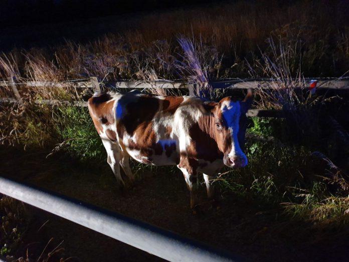 Central Motorway Police Group, cow on motorway