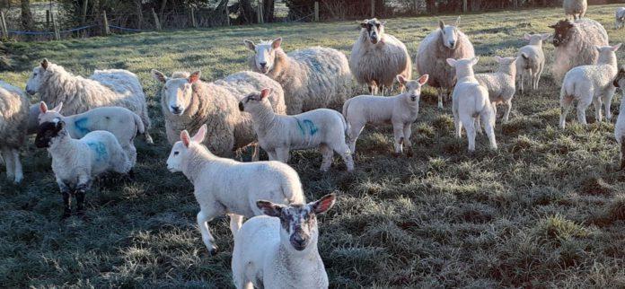 sheep, sheep farming, sheep farmers,