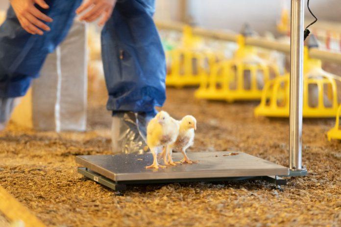 Poultry Sense, poultry farming,