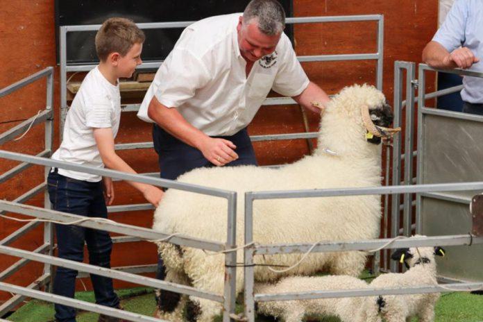 Beattie's Valais Blacknose, sheep prices, sheep farmers, sheep farming