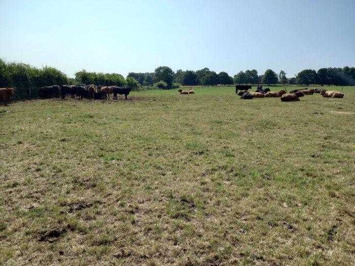 beef, beef farming, beef farmers
