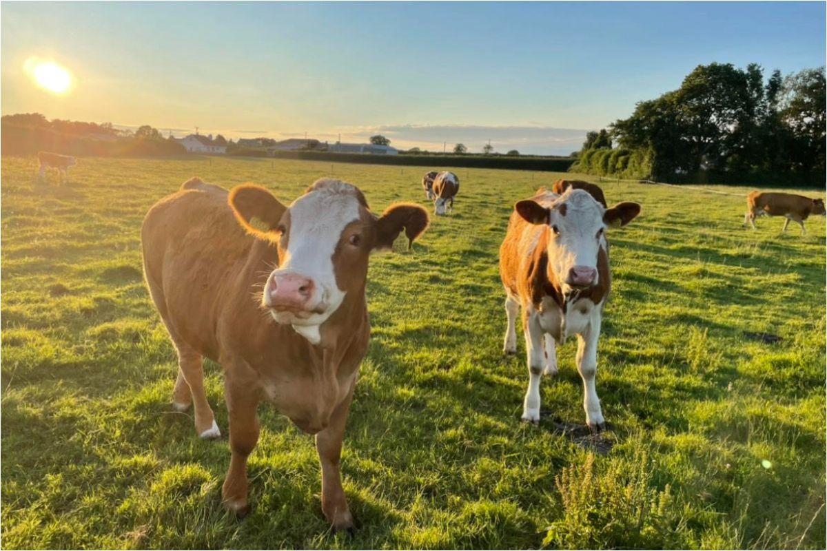 suckler farming, sucklers, cattle,