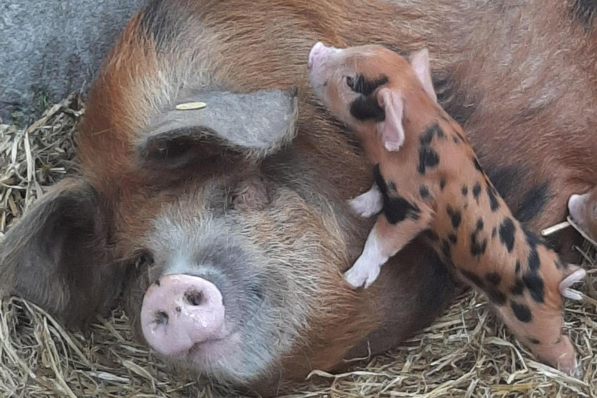 farming news, building a farm from scratch, pig farming, sheep farming