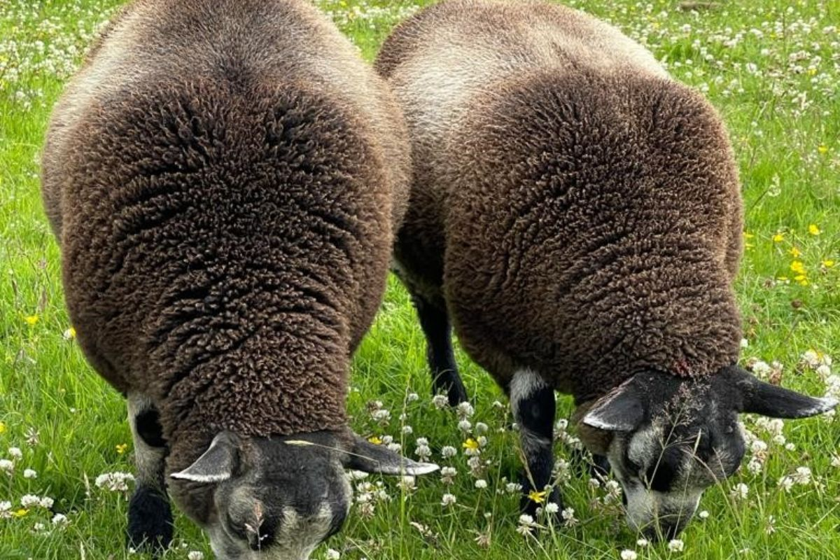 Valais Blacknose breeder, Valais Blacknose, farm girls, women in ag, women in farming