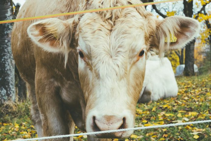beef cattle, beef farming, beef news,