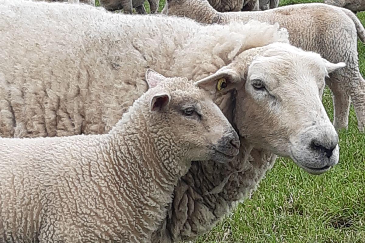 Clodagh Hughes, sheep farming, sheep, sheep farmers, farming news