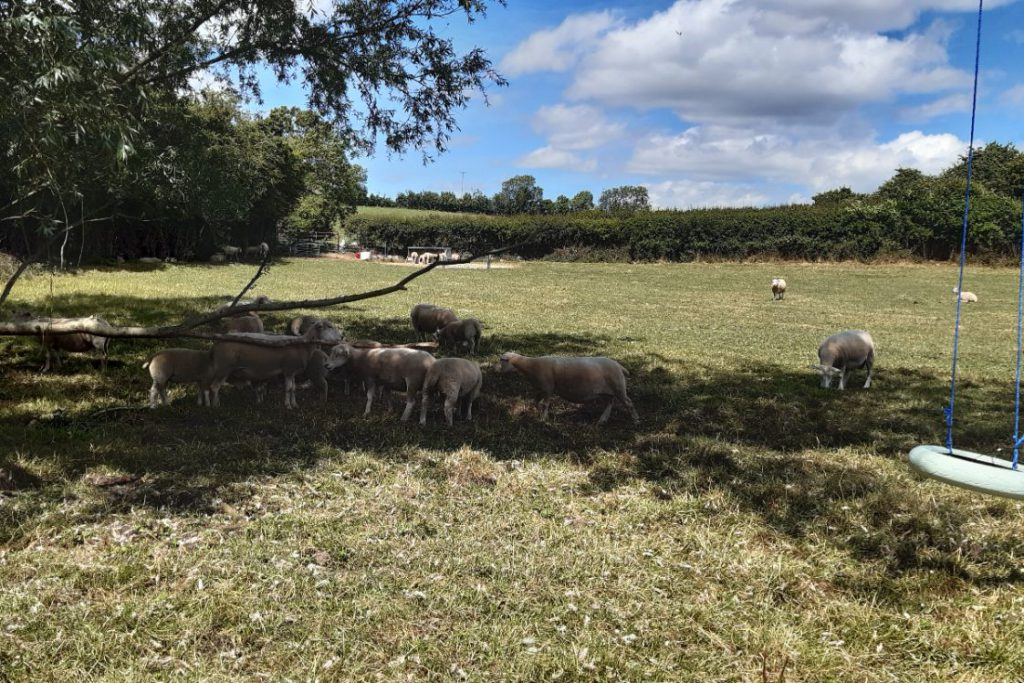 sheep farming, sheep farmers, sheep,