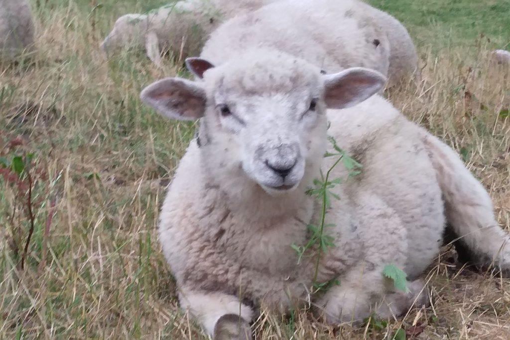 Sheep, sheep farming, sheep farmers