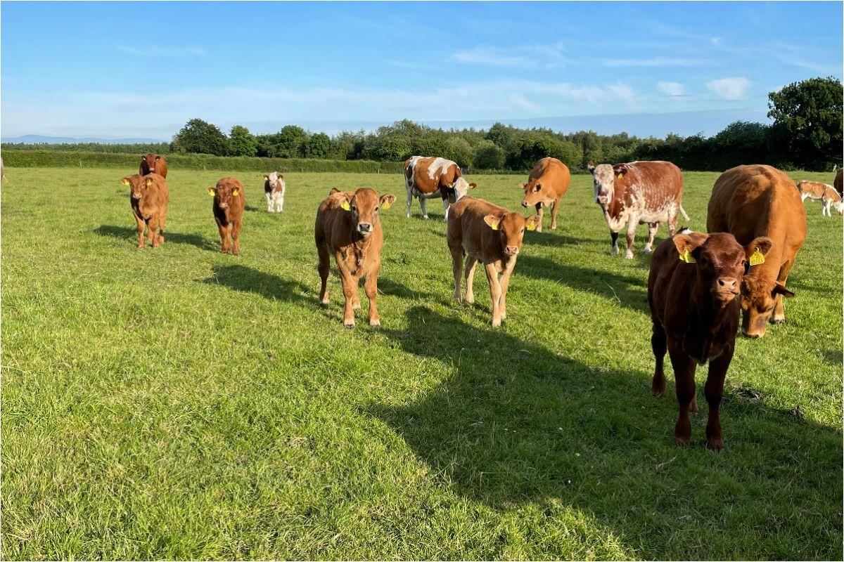 Limousin cattle, Simmental cattle, farming news,