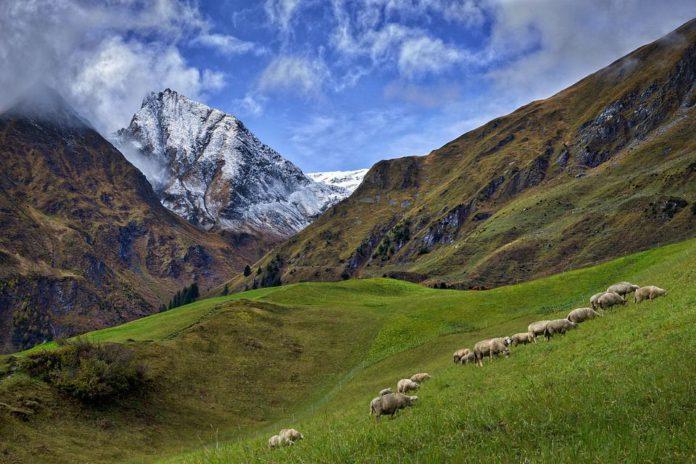 Sheep, sheep farming, sheep farmers, hill sheep farming