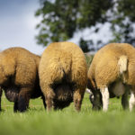 Enniscrone Livestock, farming news, sheep for sale, sheep farming,