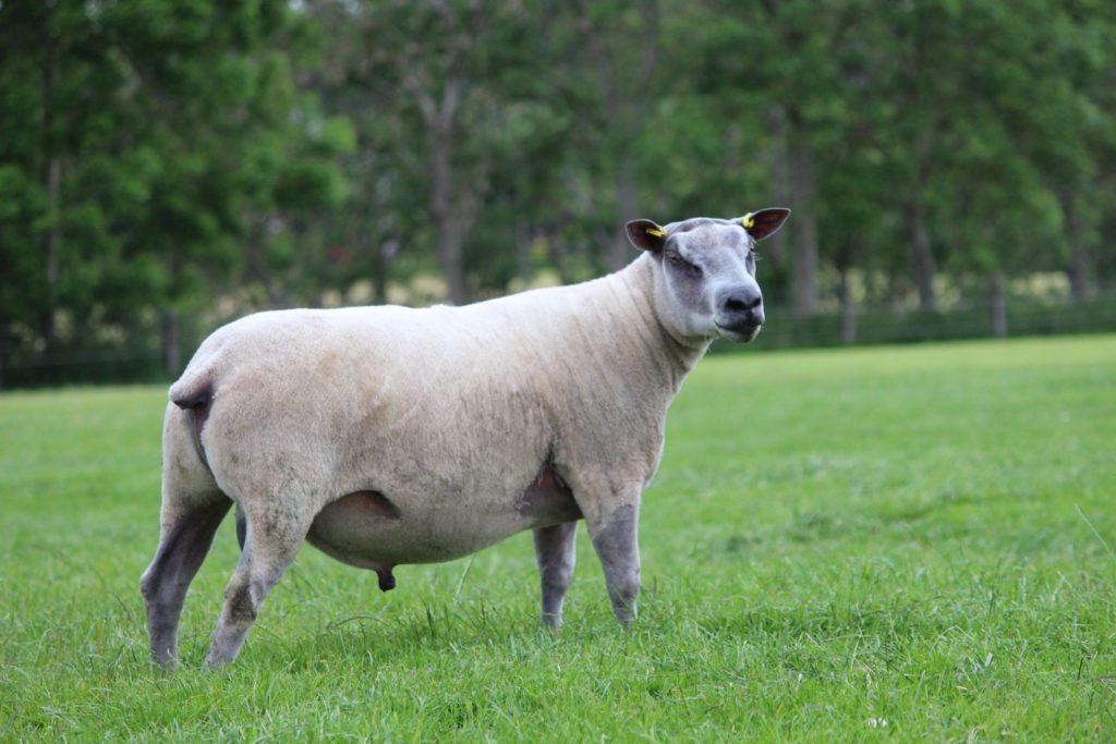 Millennium Bleu, sheep farming, Northern Ireland, sheep,