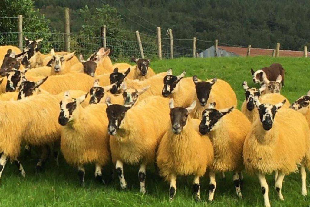 Cooley Sheep Breeders' Association, sheep farming, sheep farmers,