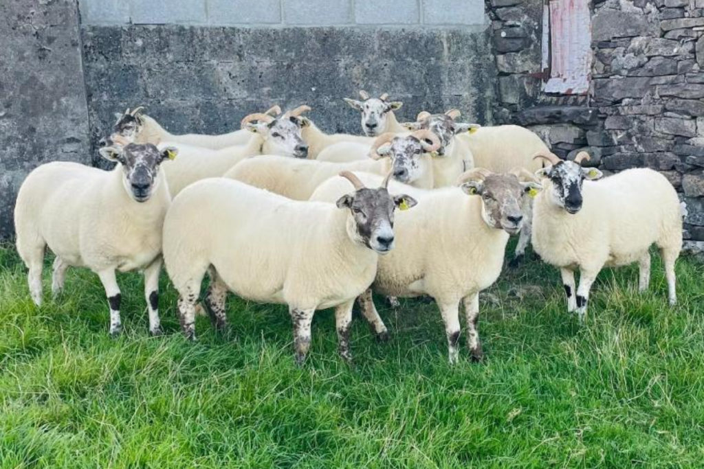 Hilltex sheep sale taking place in Aurivo Ballinrobe Mart on Friday, August 27th, 2021,
