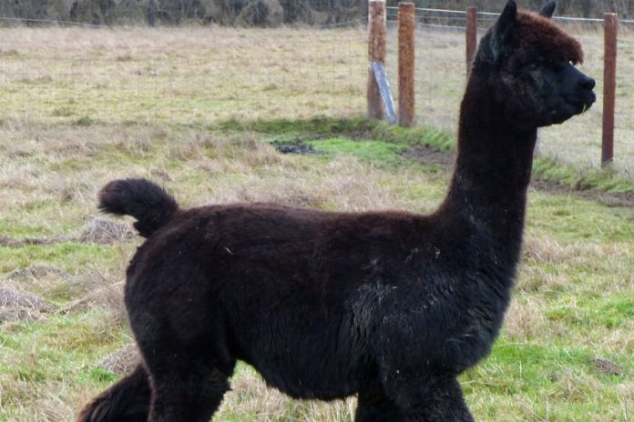 """DEFRA has revealed that """"a number of TB-like lesions"""" were found in Geronimo the alpaca, during an initial post-mortem examination. The alpaca tested positive for bovine tuberculosis (TB) using what it describes as """"highly accurate tests""""."""