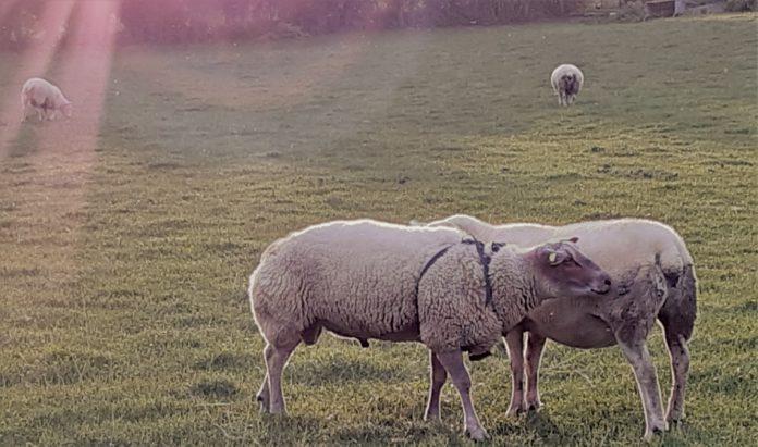 Sheep farming news for sheep farmers from That's Farming