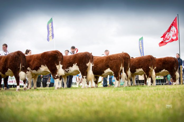 The 2021 National Hereford Show will take place this Sunday, September 12th, 2021. The Irish Hereford Breed Society will host the event, which has 110 entries, on the grounds of the Annaharvey Equestrian Centre, Tullamore.