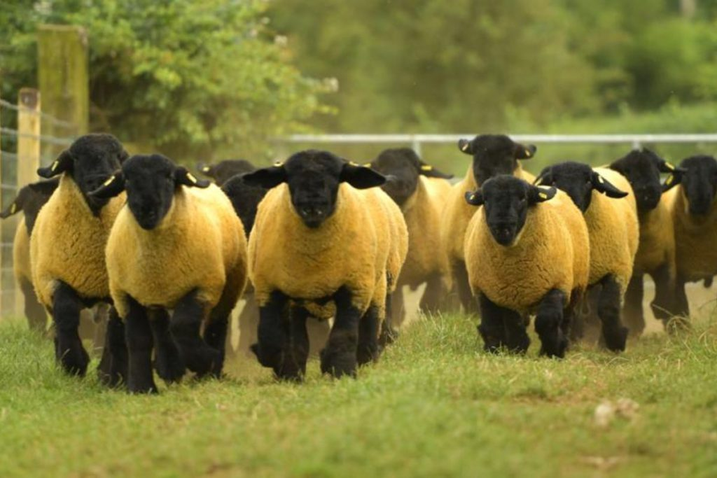 In this week'ssheep farming segment,That's Farming, speaks to Dennis Taylor from Ballynacannon Suffolks. He discusses breeding sheep from the age of twelve, farming 350 ewes and 120 cattle, selling lamb through a vending machine, and securing a ram for €44,000.