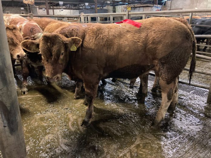 Report (with sample prices) from cattle sale of cull cows, bullocks, heifers, weanlings (bulls and heifers) held at Tuam Mart on 13-09-2021.