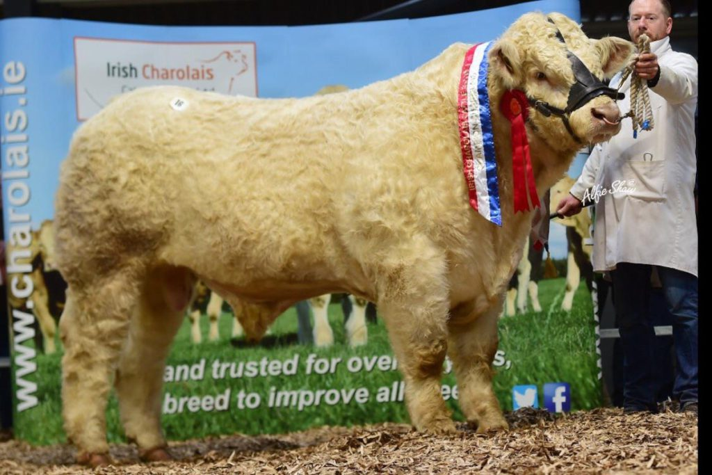 In 1983, Micheal Quinn swapped his 15-cow dairy herd for pedigree Charolais breeding under the Clenagh prefix. They bred Clenagh Lyle.