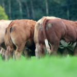 Tateetra and Rathmore Farms, a 500-cow suckler enterprise in County Louth and County Meath, will hold its annual heifer sale next month. 152 heifers, including 45 halter-trained entries, will come under the hammer at Carnaross Mart, County Meath, on Friday, October 1st, at 6 pm.