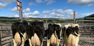 Prices from the sale of Mr Tom Byrne's entire autumn dairy herd (heifers and cows in milk and freshly calves) held at Carnew Mart.