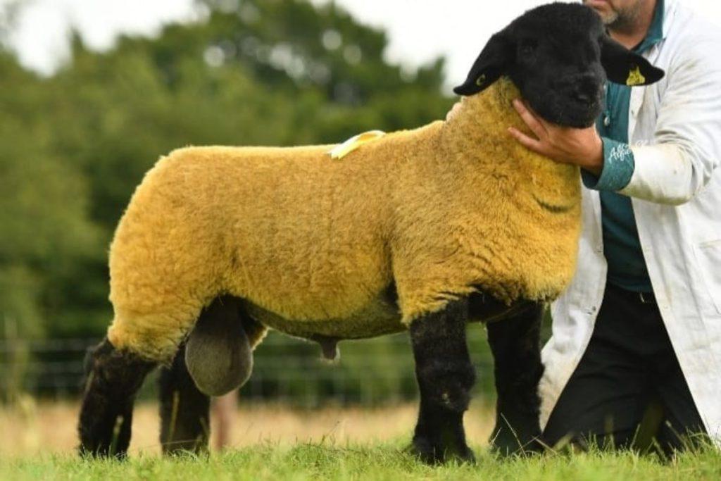 Philip Byrne part time sheep farmer Co Kilkenny - Suffolk breed