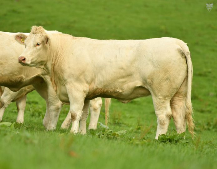Will Shorts Woodpark Charolais Herd. White Ladies Sale. Pauline and Petal
