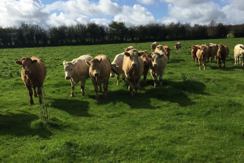 Thomas J Gunning, drystock farmer, discusses his 100-strong weanling-to-beef system, why he purchases Charolais-crosses and the importance of grass.